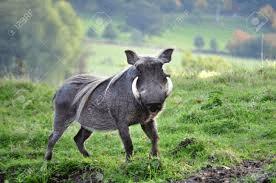 boar2_r